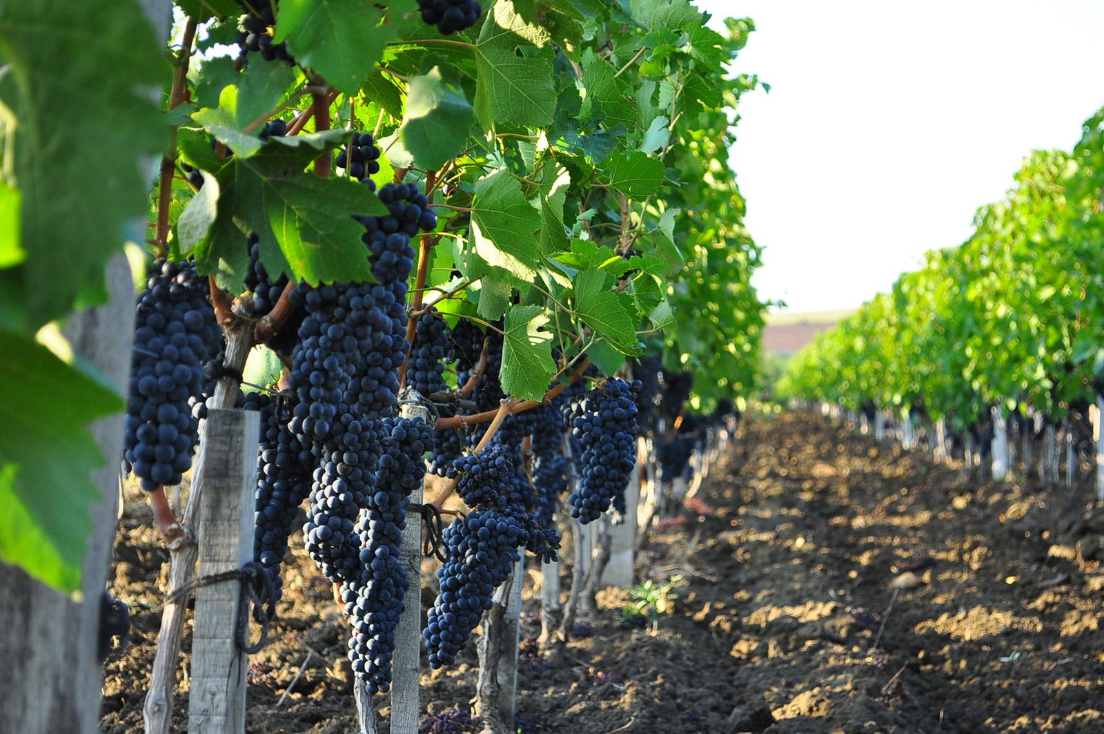 Отдых в Феодосии - Выращивание винограда