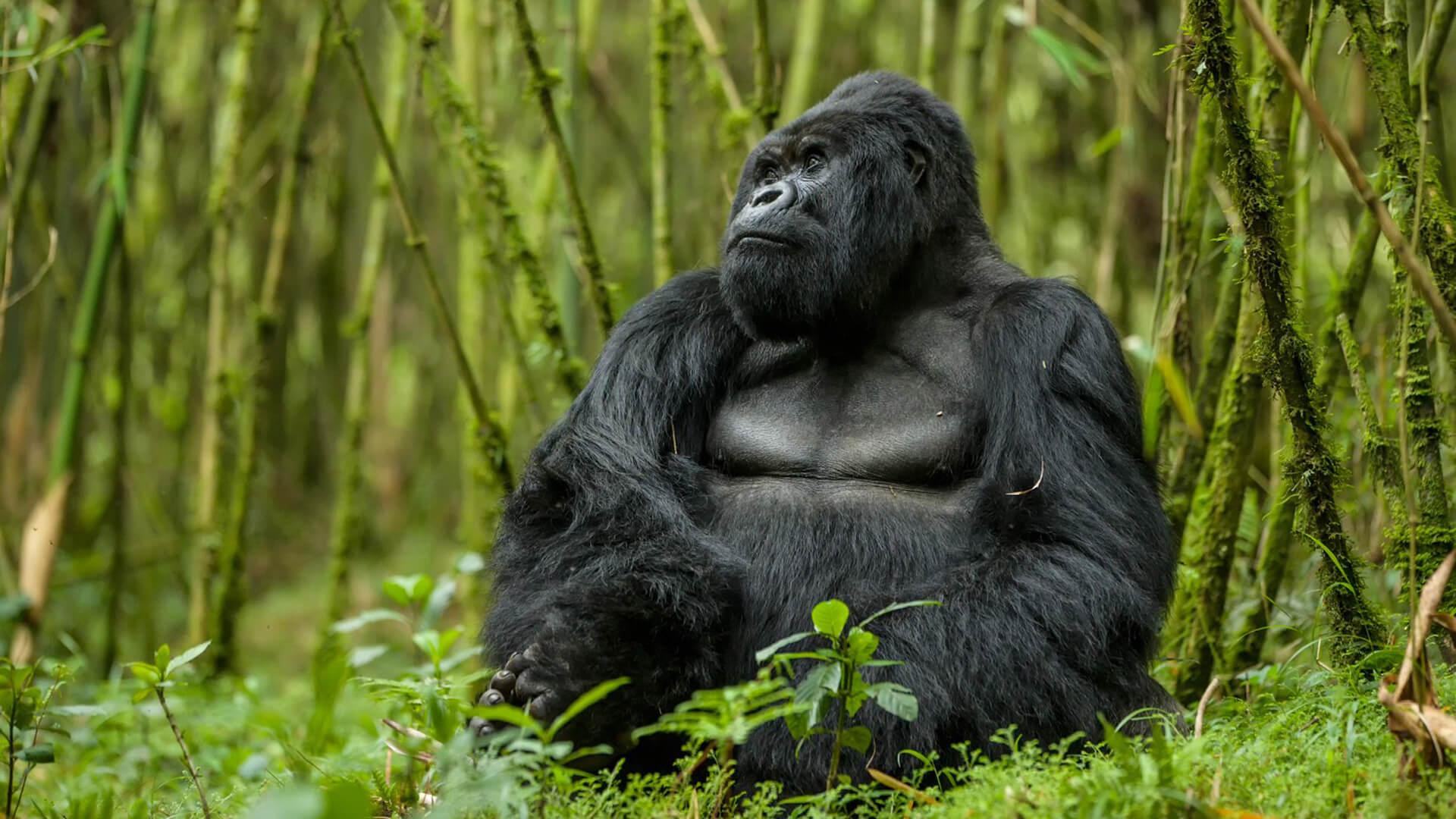 Африка для путешествий - Горная горилла